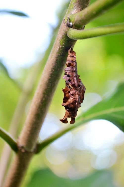 pupa young butterfly nature