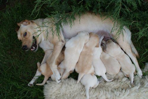 puppies labradors bitch