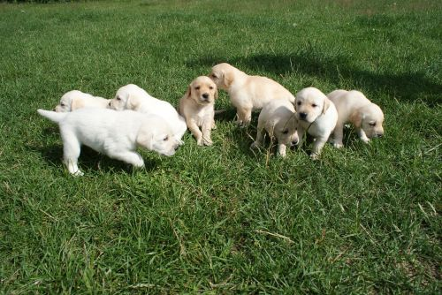 puppies labradors biszkoptowe