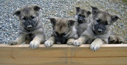 puppies dalsbygda norway