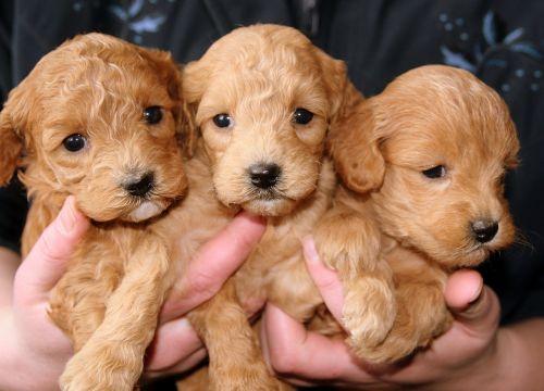 puppies golden doggies