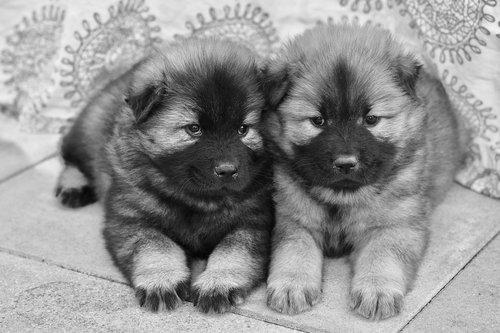 puppies eurasier  photos black white  eurasier