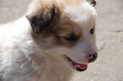 puppy a yorkshire dog