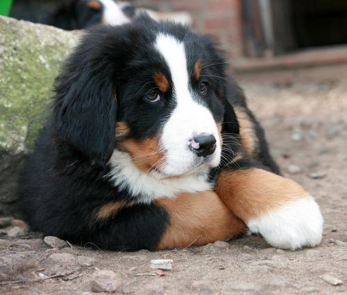 puppy bernese mountain dog berner