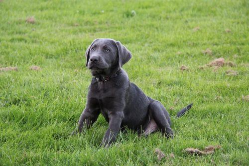 puppy dog labrador
