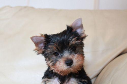 puppy yorkshire terrier puppy yorkie puppy