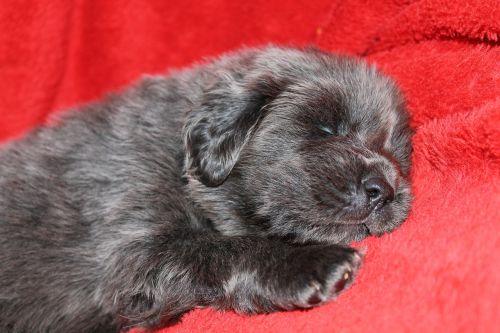 puppy tibetan mastiff tibetan