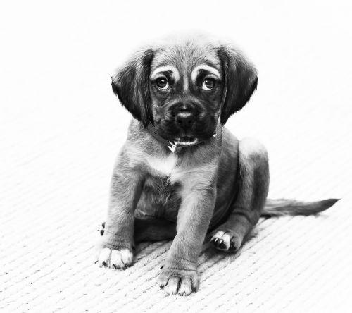 puppy dog animal