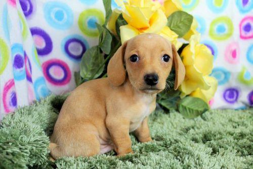 puppy cute purebred