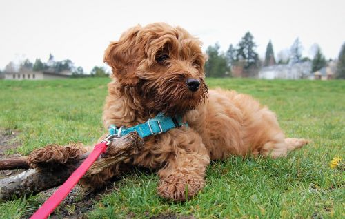 puppy cute labradoodle
