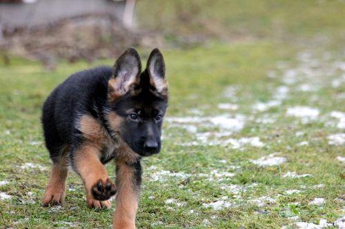 puppy german shepherd german