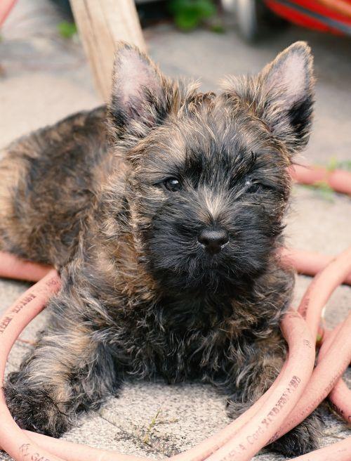 puppy cairn terrier terrier