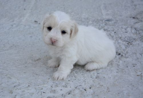 puppy dog coton tulear domestic animal