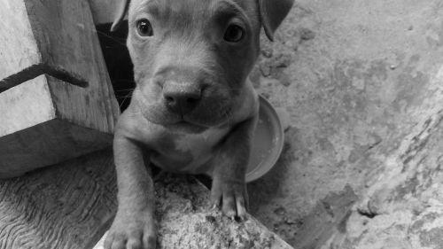 puppy dog miniature