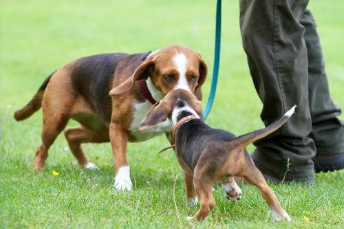 puppy deutsche bracken dog