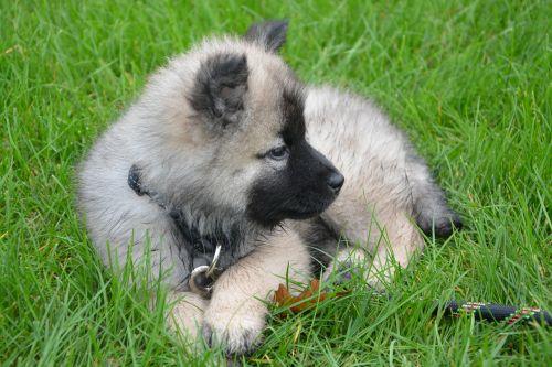 puppy young dog lie down grass