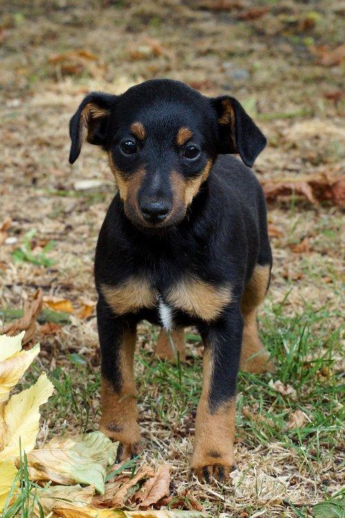 puppy  dog  small dog