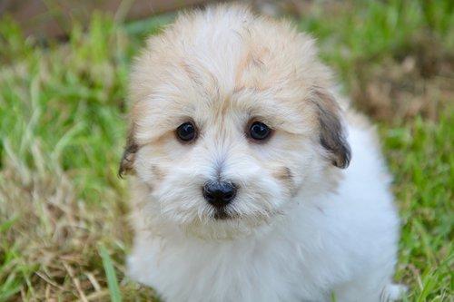 puppy  puppy cotton tubera  cute