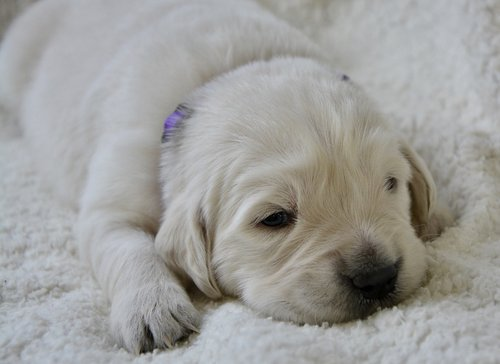 puppy  golden retriever puppy  puppy female violet