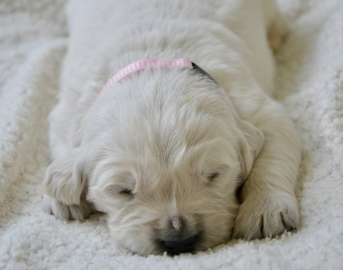 puppy  golden retriever puppy  puppy female pink