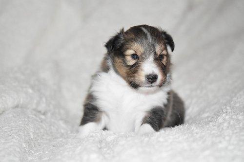 puppy  puppy shetland sheepdog  puppy sitting