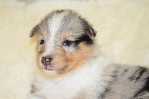 puppy  puppy shetland sheepdog  portrait