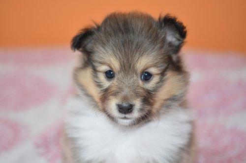 puppy  portrait puppy shetland sheepdog  dog