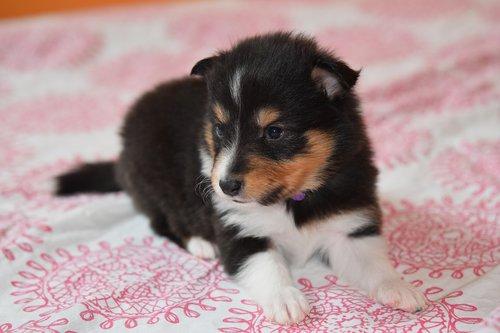 puppy  puppy shetland sheepdog  puppy female