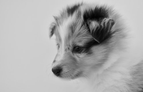puppy  bitch  young bitch