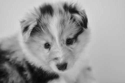 puppy  bitch shetland sheepdog  black and white portrait