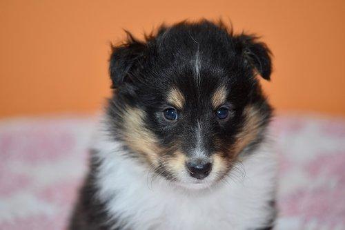 puppy  puppy shetland sheepdog  animal