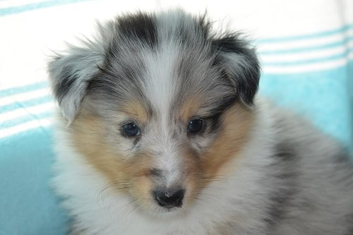 puppy  puppy shetland sheepdog  pup