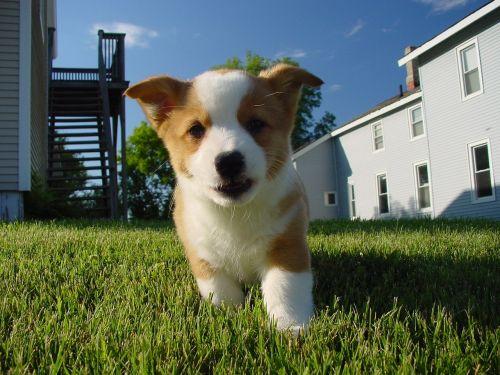 puppy dog corgi