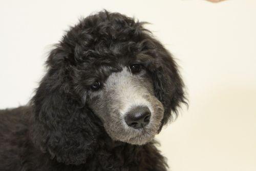 puppy standard poodle dog