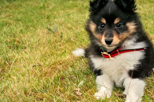 puppy shetland sheepdog canine