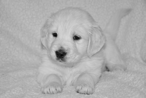 puppy dog  bitch golden  golden retriever puppy
