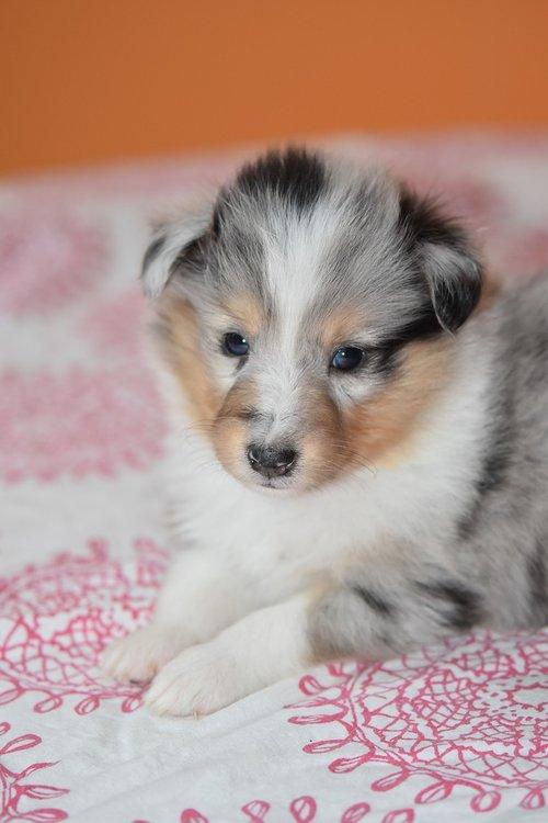 puppy shetland sheepdog  dog  bitch