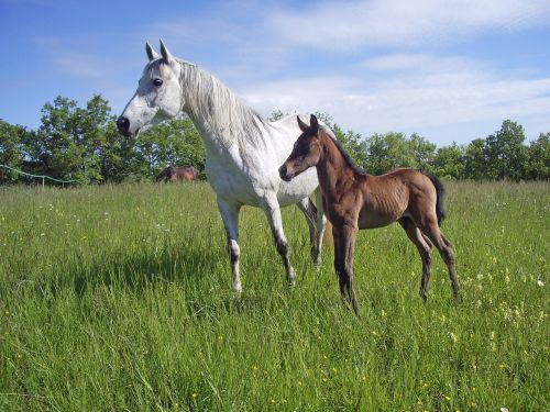pure arab blood horse horse breeding