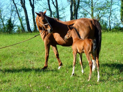 pure arab blood equine broodmare
