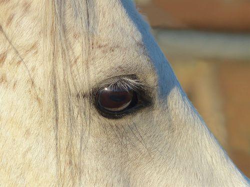 pure arab blood white eye