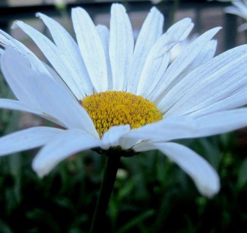 Pure White Daisy