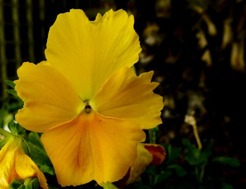 Pure Yellow Pansy