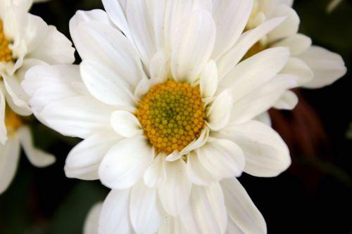 whiteflower,flower,leaves,petals,daisy,white,whitedaisy,purity of white flower