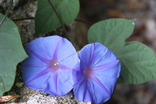 violetinė,gėlė,purpurinė gėlė,gamta,laukinė gėlė,augalas,pavasaris,violetinė,vasaros gėlė