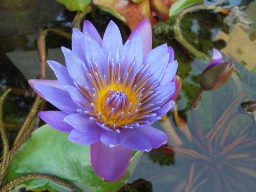 purple nymphaea alba plant