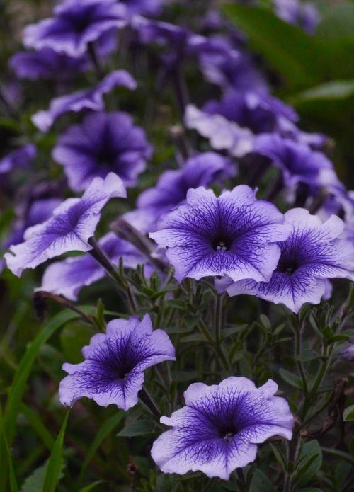 purple flowers grass