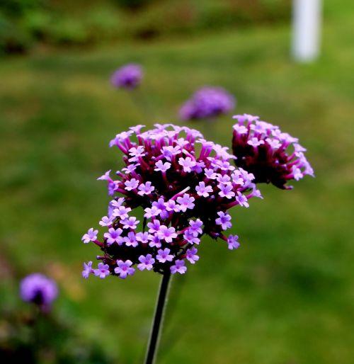 verbena verbenaceae purpletop vervain