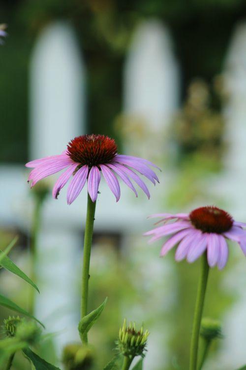 purple flower picket