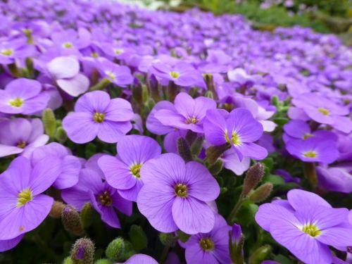 purple flowers alpine