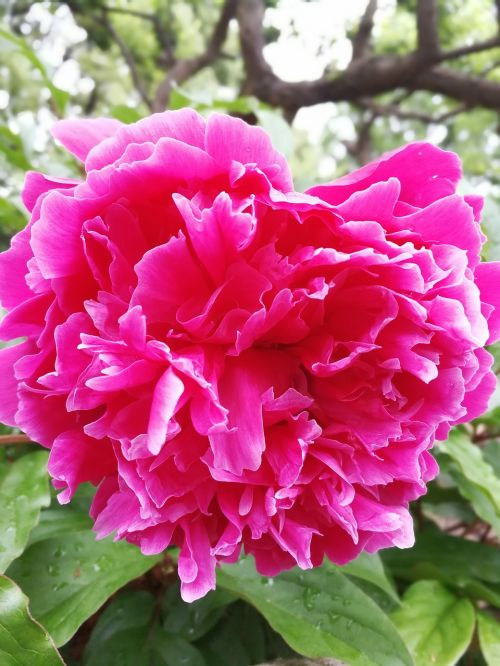 purple chinese herbaceous peony bright